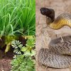 Snake Repellent Plants