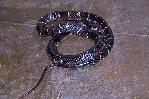 Types of Krait Snakes