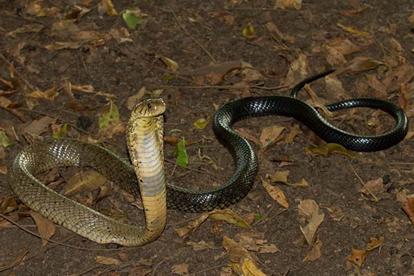 Types of Cobra Snakes