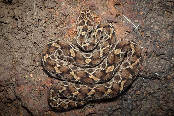 Viper Snake Types In India