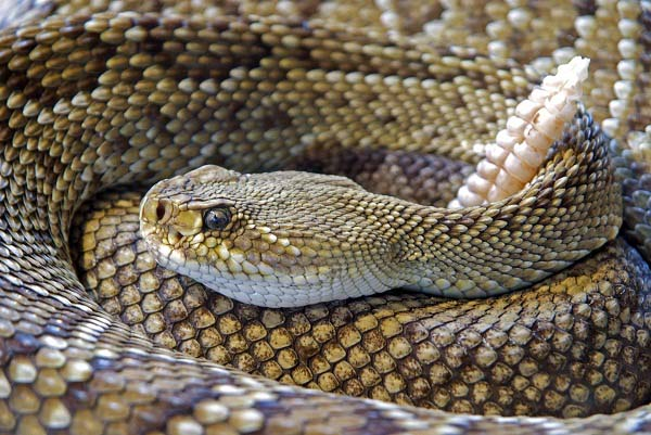 Types of Rattlesnakes in India