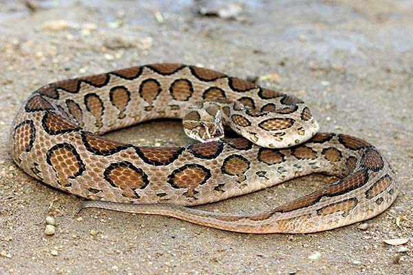 Types of Viper Snakes in India